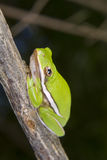 American green tree frog (Hyla cinerea) portrait. Royalty Free Stock Images