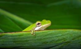 American green tree frog (Hyla cinerea) Royalty Free Stock Photo