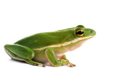 American green tree frog (Hyla cinerea) Royalty Free Stock Images
