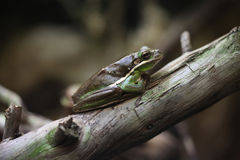 American green tree frog (Hyla cinerea). Royalty Free Stock Photography