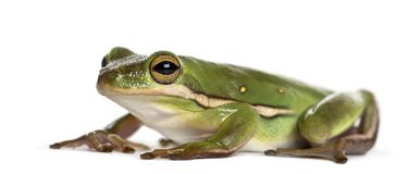 American green tree frog, isolated. On white stock photos