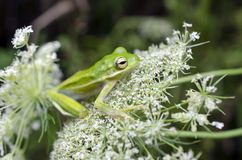 American Green Tree Frog on Queen Anne`s Lace flower. American Green Tree Frog, Hyla cinerea, a common tree frog of the Southeast United States. Monroe, Walton stock photography