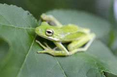 American Green Tree Frog on a Sweetgum leaf, Hyla cinerea. American Green Tree Frog, Hyla cinerea, a common tree frog of the Southeast United States. Monroe royalty free stock images