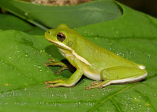 American green treefrog Royalty Free Stock Photo