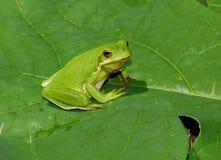 American green treefrog. Closeup of a beautiful American green treefrog Stock Images