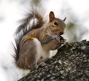 American Grey Squirrel Royalty Free Stock Photos