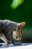 American grey squirrel Stock Images