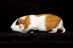 American Guinea Pigs (Cavia porcellus) Royalty Free Stock Photography