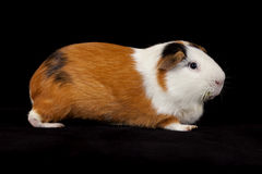 American Guinea Pigs (Cavia porcellus) Stock Images