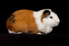 American Guinea Pigs (Cavia porcellus) Royalty Free Stock Image