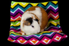 American Guinea Pigs (Cavia porcellus) Royalty Free Stock Photos