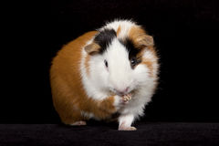 American Guinea Pigs (Cavia porcellus) Stock Image