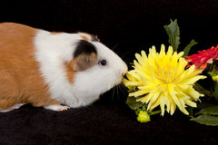 American Guinea Pigs (Cavia porcellus) Royalty Free Stock Photo