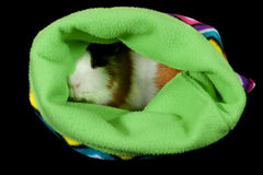 American Guinea Pigs & x28;Cavia porcellus& x29; Royalty Free Stock Photography