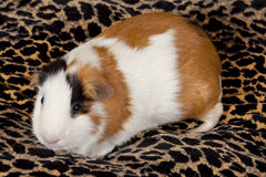American Guinea Pigs & x28;Cavia porcellus& x29; Royalty Free Stock Photo