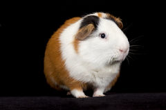 American Guinea Pigs & x28;Cavia porcellus& x29; Stock Image