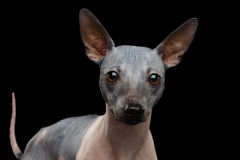 American Hairless Terrier Royalty Free Stock Image