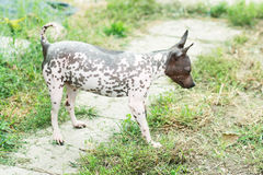 American Hairless Terrier Stock Images