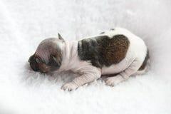 American Hairless Terrier Stock Photos