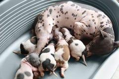 American Hairless Terrier Stock Image
