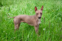 American hairless terrier puppy is standing in a green grass. royalty free stock images