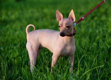 American Hairless Terrier with red leash standing on green lawn background royalty free stock image