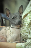 American Hairless Terrier Stock Photos