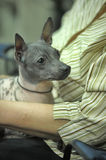 American Hairless Terrier Stock Photography