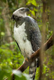American harpy eagle Royalty Free Stock Photos
