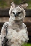 American harpy eagle. Harpia harpyja Stock Photos
