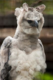 American harpy eagle Royalty Free Stock Photo