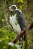 American harpy eagle - harpia harpyja - Brazil. American harpy eagle - harpia harpyja Stock Image