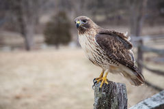 American Hawk Stock Photography