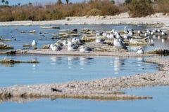 American herring gull Stock Image