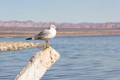 American herring gull Stock Images