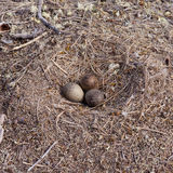 American Herring Gull nest with three mottled eggs Stock Image