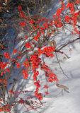 American holly. An American holly bush in a natural winter setting...vertical format royalty free stock photos