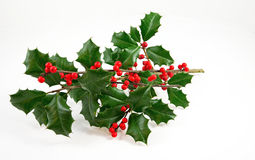 American Holly and Winterberry Stock Photo
