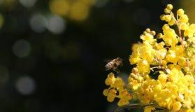 American Honey Bee Hovers toward Oregon Grape. AnAmerican Honey bee descends on an Oregon Grape plant during spring flowering. Flowers. Field Royalty Free Stock Image