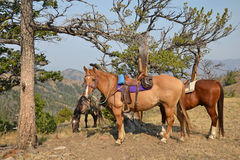 American horse riding. Riding horses on a trail in Wyoming Royalty Free Stock Photos
