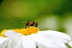 American Hover Fly Stock Photo