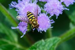 American Hoverfly - Eupeodes americanus. American Hoverfly resting on a bunch of purple flowers. Rosetta McClain Gardens, Toronto, Ontario, Canada stock photography