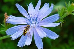 American Hoverfly - Eupeodes americanus. An American Hoverfly is resting on a blue Common Chicory flower. Todmorden Mills Park, Toronto, Ontario, Canada stock photo