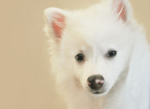 American Husky Dog Closeup. A closeup of a white American husky dog breed. Use it for a pet or adoption concept Royalty Free Stock Image