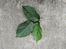 American huzelnut green leaves stock photography
