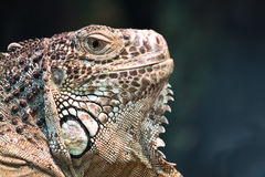 American iguana or green. A large herbivorous lizard of the American iguana or green Royalty Free Stock Photography