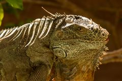 The American iguana is a large, arboreal animal. The American iguana is a large, arboreal, mostly herbivorous species of lizard. It is native to Central, South stock image