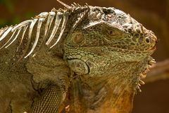 The American iguana is a large, arboreal animal. The American iguana is a large, arboreal, mostly herbivorous species of lizard. It is native to Central, South stock photography