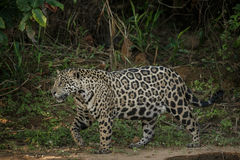 American jaguar in the darkness of a brazilian jungle Stock Images