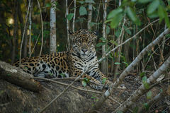 American jaguar in the darkness of a brazilian jungle Royalty Free Stock Image